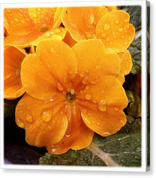 Drink Canvas Print - Orange Flower With Water Drops by Matthias Hauser