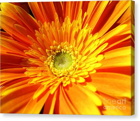 Orange Gerbera Canvas Print
