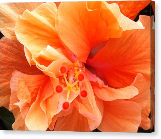 Orange Hibiscus Canvas Print
