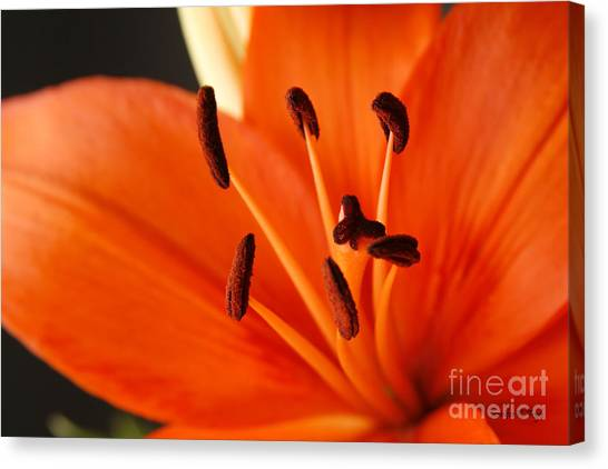Orange Lily Canvas Print by Jennifer Kay Fogle