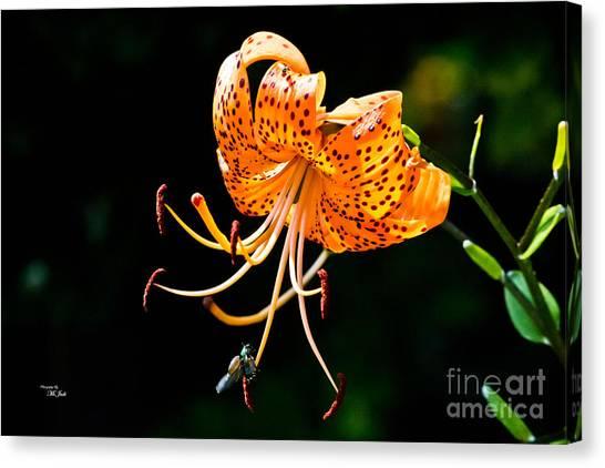 Orange Lily - Lilium Kelleyanum Canvas Print