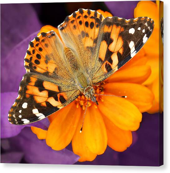 Orange On Purple Canvas Print