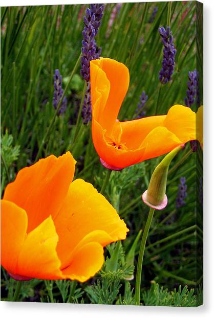 Orange Poppies With Lavender Canvas Print