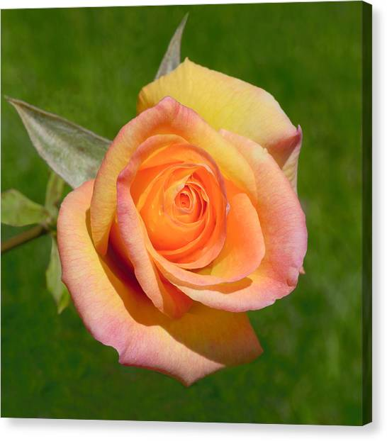 Canvas Print featuring the photograph Orange Rose by Jon Exley