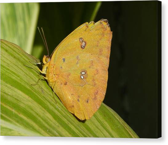 Orange Sulphur Canvas Print by Krista Keck