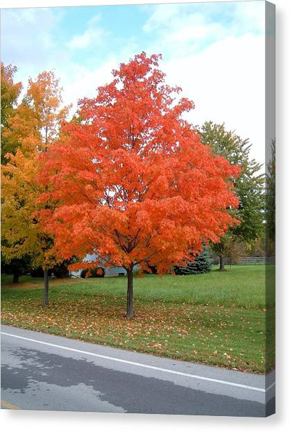 Orange Tree Canvas Print - Orange Tree  by R K