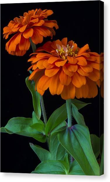 Zinnia Canvas Print - Orange Zinnia by Garry Gay