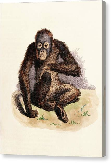 Orangutans Canvas Print - Orangutan by King's College London