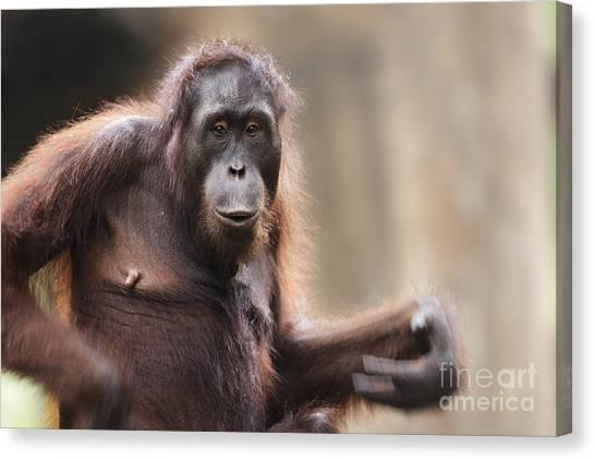 Orangutans Canvas Print - Orangutan by Richard Garvey-Williams