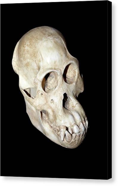 Orangutans Canvas Print - Orangutan Skull by Dirk Wiersma