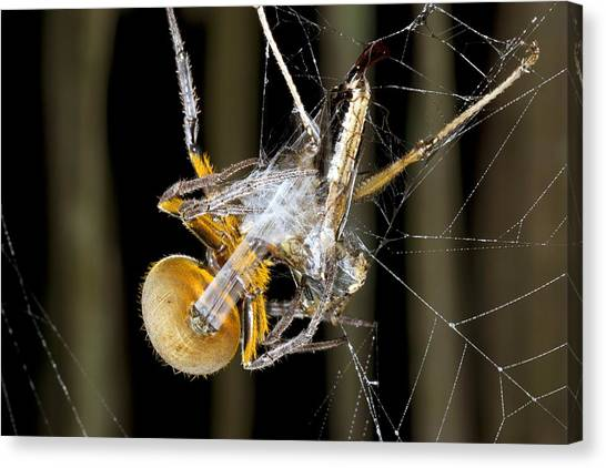Amazon Rainforest Canvas Print - Orb Weaver Spider And Prey, Ecuador by Science Photo Library