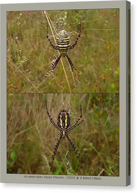 orb weaver spider - Argiope trifasciata - 12SE03 Canvas Print by Robert G Mears