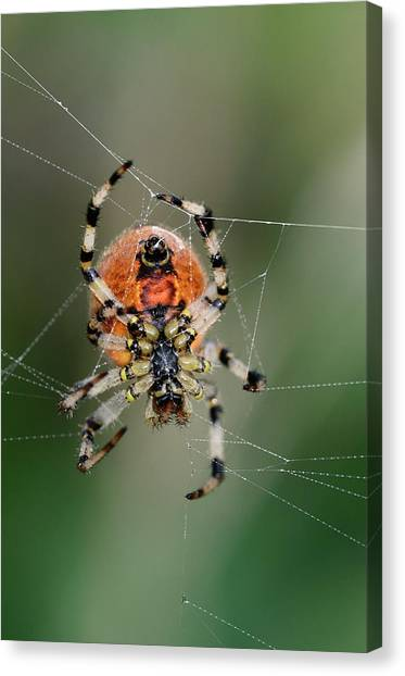 Orb Weaver Spider Canvas Print by Colin Varndell