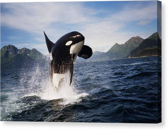 Orcas Canvas Print - Orca Breach by Richard Johnson