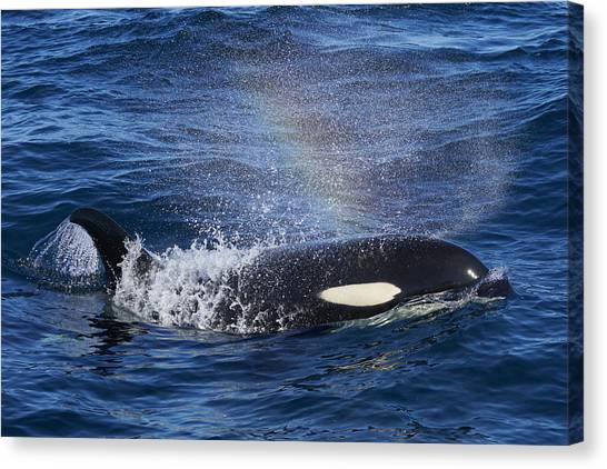 Animal Behaviour Canvas Print - Orca Surfacing Hokkaido Japan by Hiroya Minakuchi