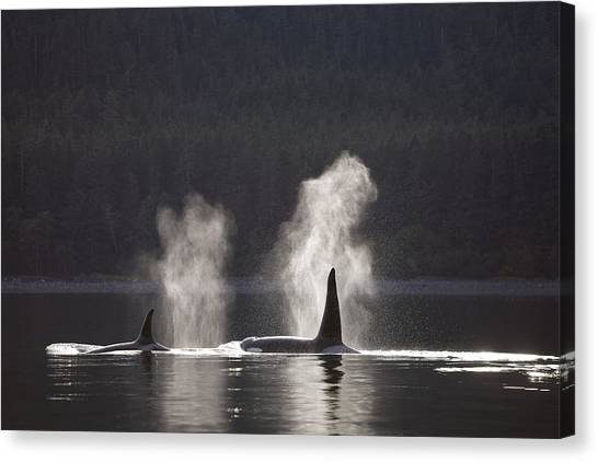 Tongass National Forest Canvas Print - Orca Whales Surface Along A Forested by John Hyde