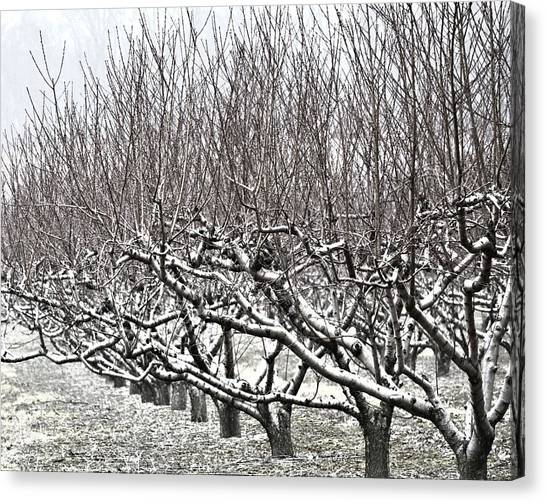 Orchard In Winter Canvas Print