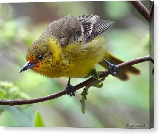 Orchard Oriole Female Canvas Print
