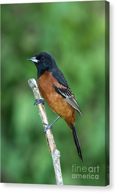 Wild Orchards Canvas Print - Orchard Oriole Icterus Spurius Adult by Anthony Mercieca