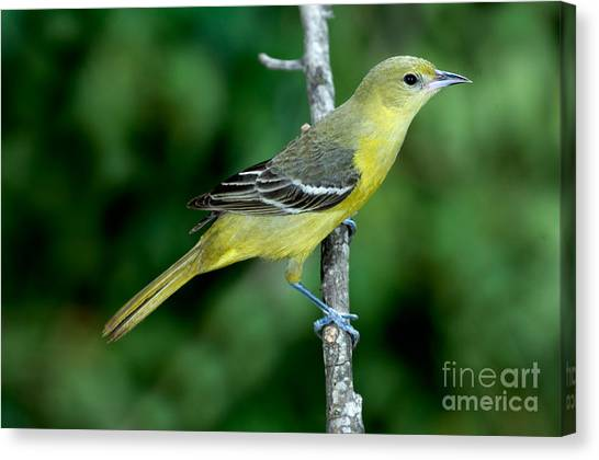Wild Orchards Canvas Print - Orchard Oriole Icterus Spurius Female by Anthony Mercieca
