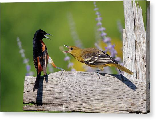 Baltimore Orioles Canvas Print - Orchard Oriole (icterus Spurius by Richard and Susan Day
