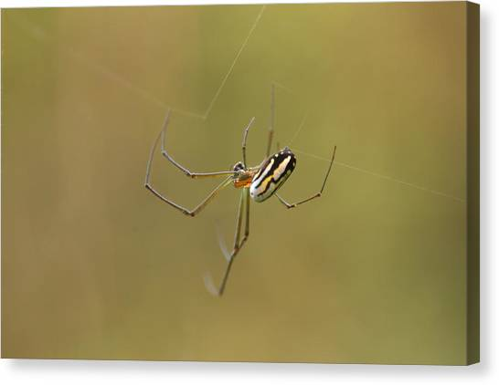 Orchard Spider Canvas Print