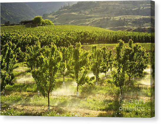 Orchards In The Mist Canvas Print