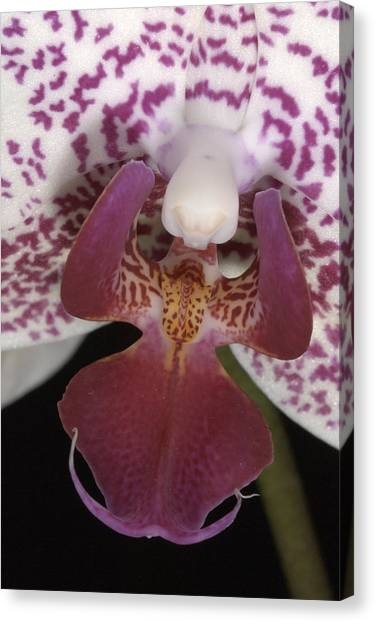 Orchid 474 Canvas Print