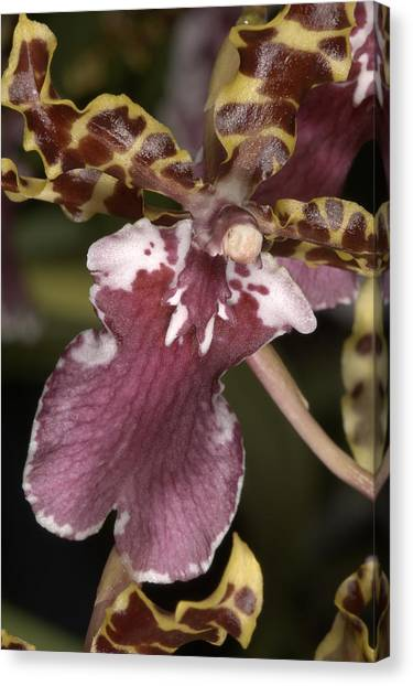 Orchid 482 Canvas Print