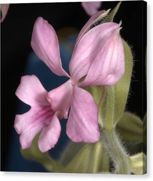 Orchid 488 Canvas Print