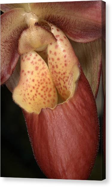 Orchid 490 Canvas Print