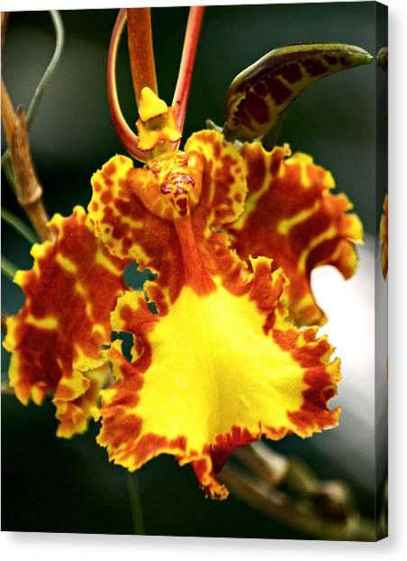 Orchid Canvas Print by Andrew Chianese