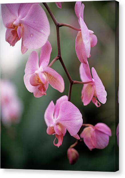 Andy Bloom Canvas Print - Orchid Flowers by Andy Williams/science Photo Library