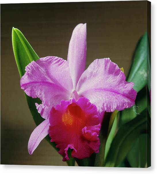 Vulcans Canvas Print - Orchid (laeliocattleya 'knightsbridge') by Science Photo Library