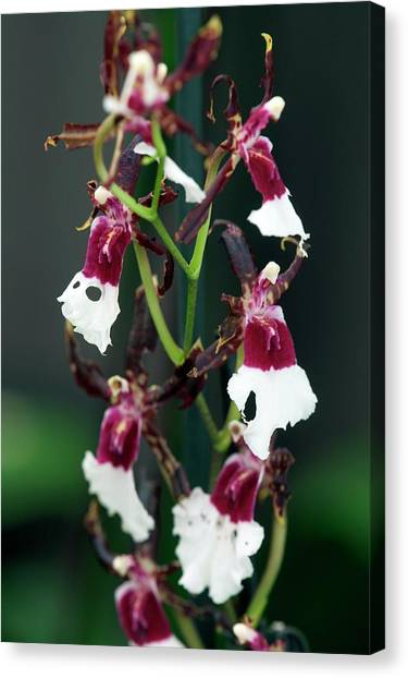 Orchid (oncidium Samurai) Canvas Print by Sam K Tran/science Photo Library