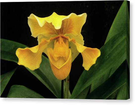 Orchid (paph.sp.) Canvas Print by Sally Mccrae Kuyper/science Photo Library