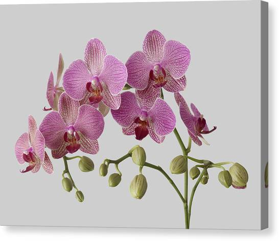 Orchid Plant On Grey Background Canvas Print by William Turner