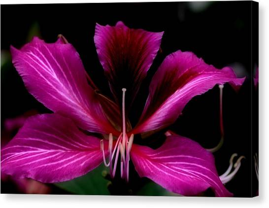 Canvas Print - Orchidea Arbolia by Russell Wilson