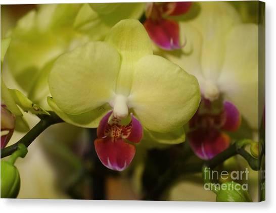 Orchids 181 Canvas Print