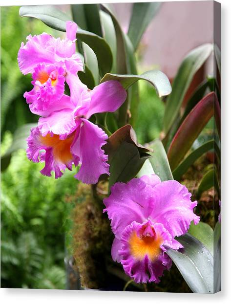 Orchids At The Washington Botanical Canvas Print by Carol Kinkead