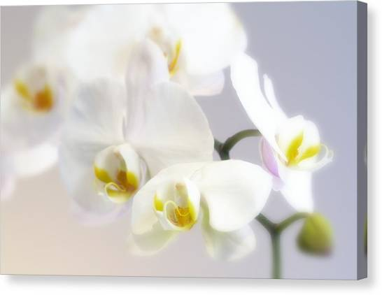 Orchids In The Mist Canvas Print