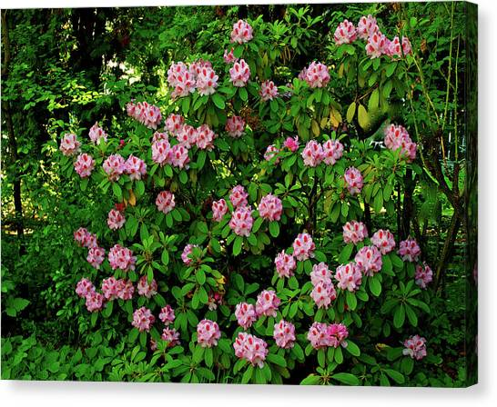 Oregon Azaleas Canvas Print