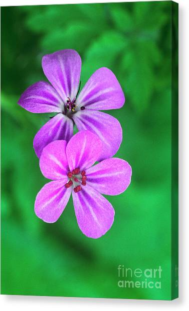Nsa Canvas Print - Oregon Geraniums In Flower by Dave Welling