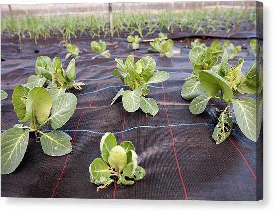 Local Food Canvas Print - Organic Cabbage Crop by Ashley Cooper