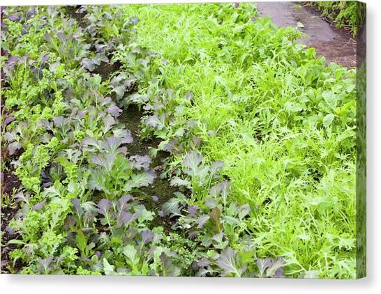 Local Food Canvas Print - Organic Salad Crops by Ashley Cooper