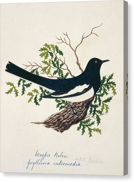 Magpies Canvas Print - Oriental Magpie-robin by Natural History Museum, London/science Photo Library