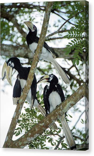 Hornbill Canvas Print - Oriental Pied Hornbills by Scubazoo/science Photo Library