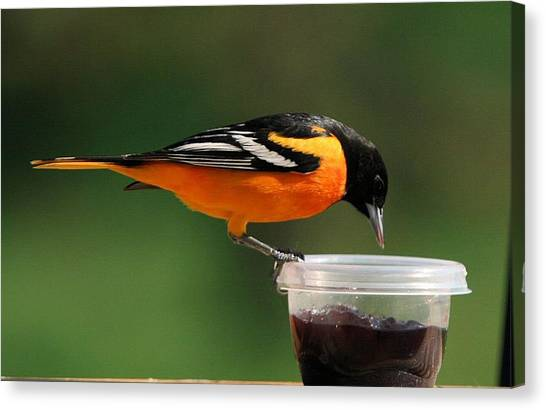 Oriole At Feeder Canvas Print