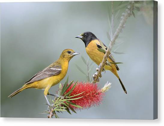 Wild Orchards Canvas Print - Orioles by Bonnie Barry