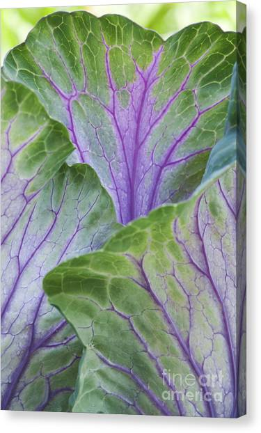 Cabbage Canvas Print - Ornamental Cabbage Leaves by Tim Gainey